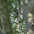 Wakacje na wsi.Wypoczynek pośrod drzew. Symbioza #drzewo #wypoczynek