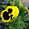 #Bralin #wiosna #bratek #kwiaty