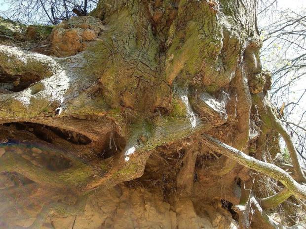 Mocarne korzenie drzew o fantastycznych kształtach #KazimierzDolny