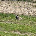 PZK ptaszek, ptak, ptaszysko #ptak #ptaszek #ptaszysko #łąka #trawa #zielona #pzk