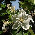 #kwiat #jabłoń #wiosna #natura #makro