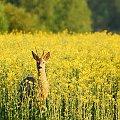 koziołek, młody i piekny szóstak #sarna #kozioł #szóstak #pole #łąka