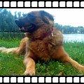 Moja sunia Baba #pies #suka #sunia #Baba #włochaty #kudłaty #ruda #trawa #zieleń