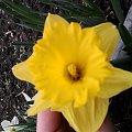 kwiatek #żółty