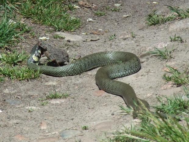 Zaskroniec, 24.05.2009, okolice Szreniawy (Wielkopolski Park Narodowy) #gady #NatrixNatrix #węże #Zaskroniec