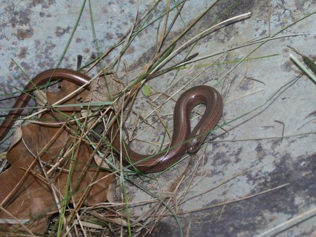 wąż gad zwierzę zaskroniec #wiosna #zaskroniec #wąż #gad #zwierzęta