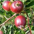 Młode Jabłka #natura #jabłko #jabłoń #rosliny #kwaiatki #roslinność #roslinnosc #macro #piękno #działka #dojrzewanie #rozkwit #lato #wiosna #ciepło #owoce #drzewka #ogród #ogrod #zbiory #plony #OwoceNatury #wieś #wioska