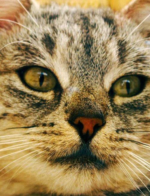 #kot #ssak #oczy #pyszczek #nos #nosek #wąsy #futro