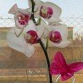 storczyk #kwiatek