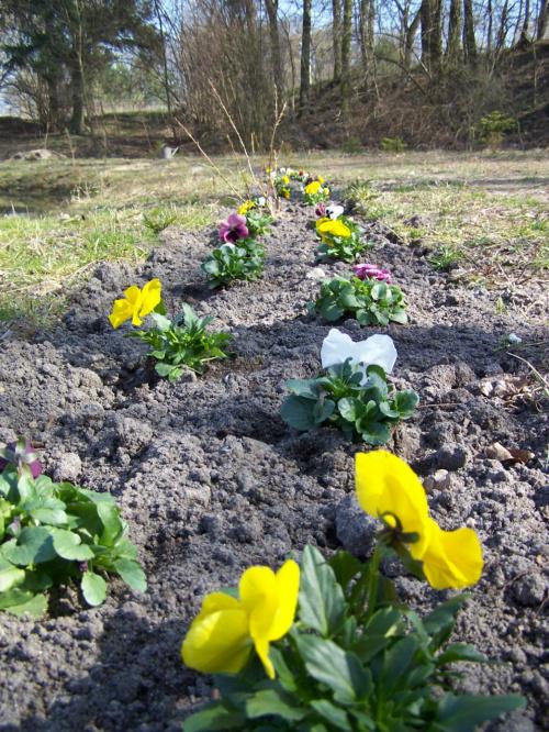 #WiosnaKwiatyPiesRośliny