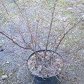 berberys czerwonolistny #krzewy