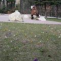 Blaszany parkowy miś z Karpacza bardzo lubi kwiatki :) #karpacz #krokusy #park #wiosna