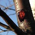 krew drzewa #drzewo #krew #sok #czereśnia
