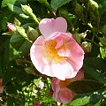 Róża #ogród #natura #rosliny #kwiatki #roslinność #roslinnosc #macro #piękno #działka #dojrzewanie #rozkwit #lato #wiosna #ciepło #owoce #drzewka #ogrod #zbiory #plony #OwoceNatury #wieś #wioska #ogródek #ogórek #ogór #woda