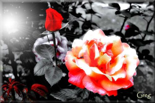 Roza #RedRose