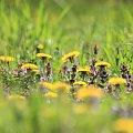kolorem i światłem malowane #flora #łąka #maj #mlecz