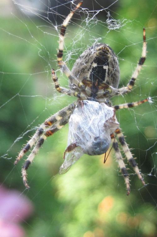 śnadanie pająka