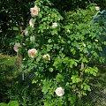 Frulingsdufy #kwiaty #peonie