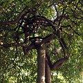 związane drzewa jarzębiny #drzewo #jarzębina #park #skwer