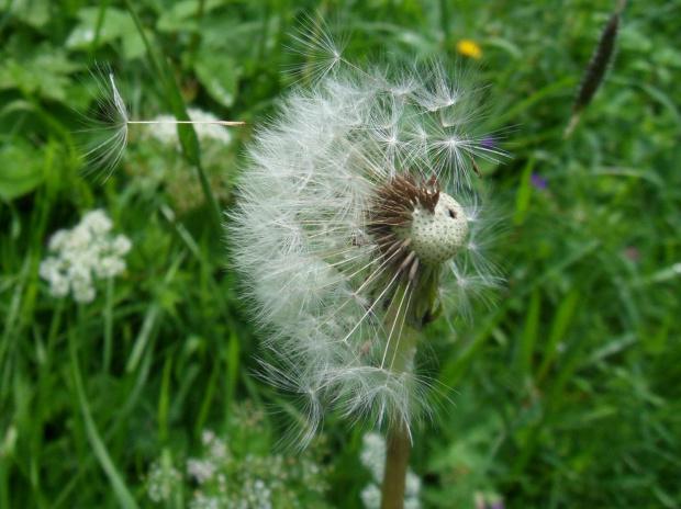 Odlot ;)) #dmuchawce #latawce #wiatr