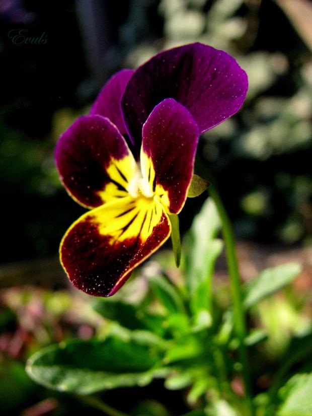#Bratki #kwiatki #ogród