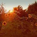 sloneczniki o zachodzie #kwiaty #ogrod