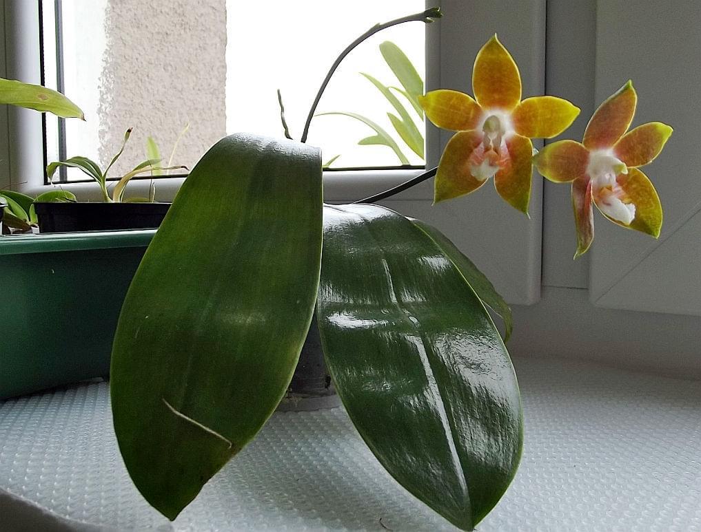 Phalaenopsis venosa 7509a4983cbc0912