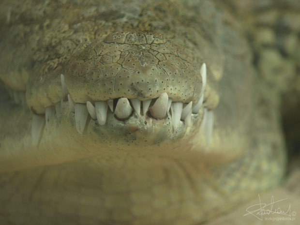 Uśmiech, Ogród zoologiczny w Debreczynie (HU), 04.2008 [Olympus E-410, Zuiko Digital Tele 40-150] #aligator #drapieżnik #krokodyl #OgródZoologiczny #zęby #zoo #tele