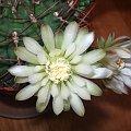 Kwitnący Gymnocalycium Schikendantzii #gymnocalycium #schikendantzii #kaktus #sukulent