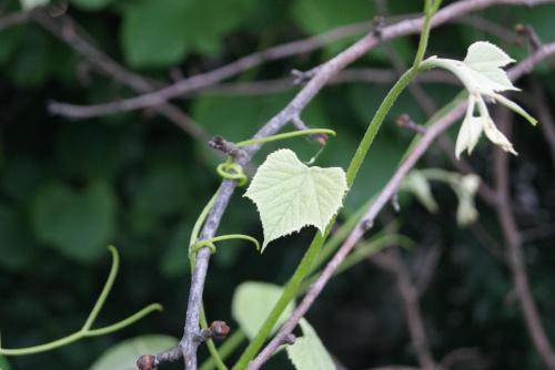 Winogrono #natura #przyroda #zblirzenie