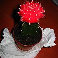 Kaktus szczepiony #KaktusSzczepiony #kaktus #sukulent