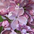 #natura #przyroda #kwiaty #bez