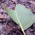 Liść jak liść, może podniesiesz go dziś. #las #lato #liść #przyroda #ziemia