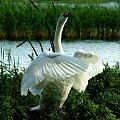 Łabędź niemy - tak się popisuje przed swoją rodzinką #jezioro #łabędź #natura #przyroda #ptak
