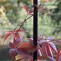 dzikie wino #jesień #ogród #DzikieWino