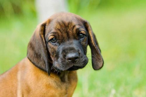 pies, posokowiec bawarski, maść jelenia czerwień #pies #PosokowiecBawarski #MaśćJeleniaCzerwień