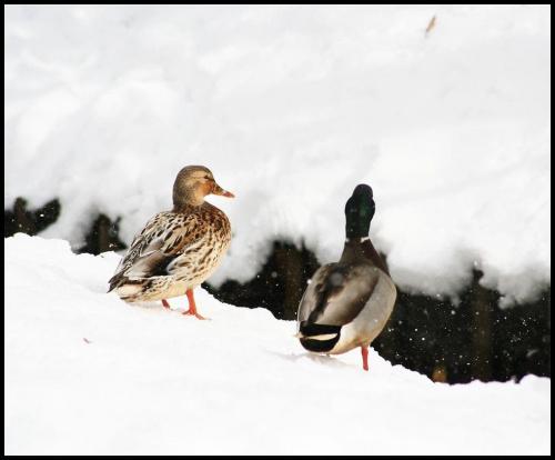 Skaczemy ! #kaczki #zima #SpacerPoParku #snieg