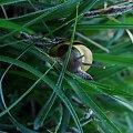 Ślimak, ślimak pokaż rogi... i pokazał :P #wiosna #ślimak