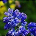 Bardzo kolorowe zdjęcie... #kwiaty #makro #kropelki