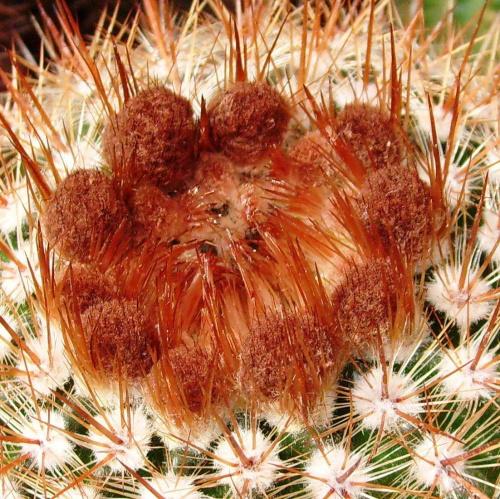 Notocactus rutilians #notocactus #rutilians #kaktus #sukulent