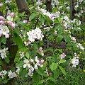 Jabłoń w kwiecie #Jabłoń #kwiat