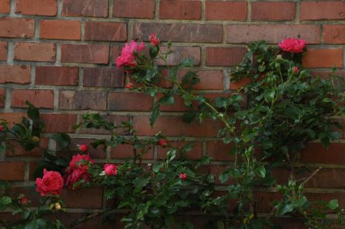 Mury... #kwiaty #róże #mury
