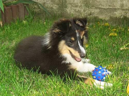Lovesome Sheltie - Monty