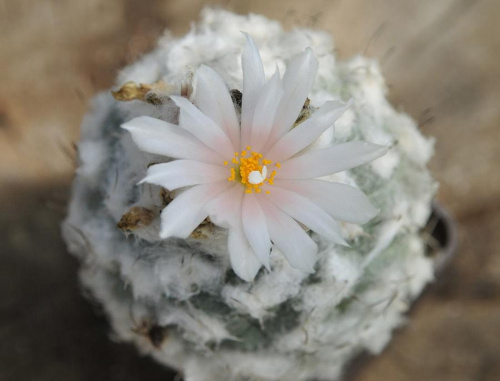 Turbinicarpus lophophoroides-during the flowering,a very old plant