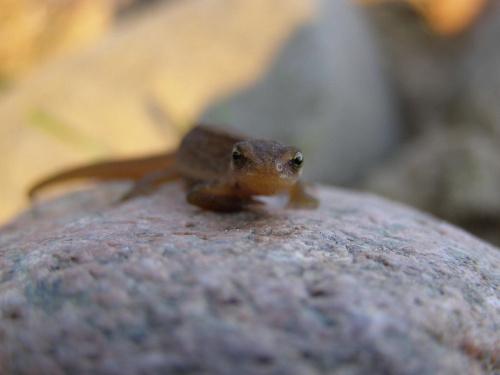Jaszczurka na kamieniu,,,, #jaszczurka #kamień #płaz