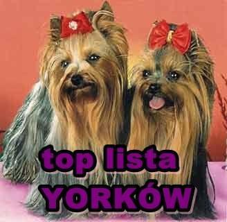 Najlepsze strony o yorkach - TOP LISTA