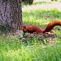 Chyba coś tam znalazła... #wiewiórka #drzewo #trawa #zwierze #gryzoń