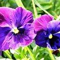 piekny kwiat #bratek
