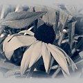 Wariacje na temat rudbekii-w starym stylu #przeróbki #inaczej #rudbekia #kwiat