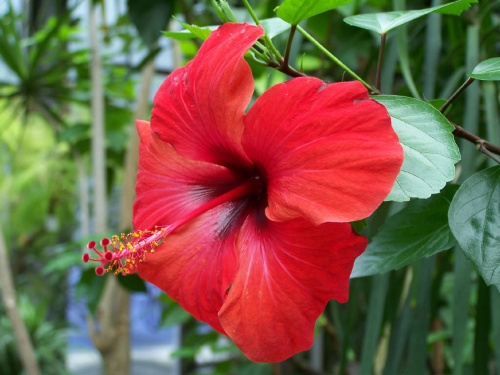 hibiskus #bialy #czerwony #hibiskus #Kwiaty #lato #wiosna